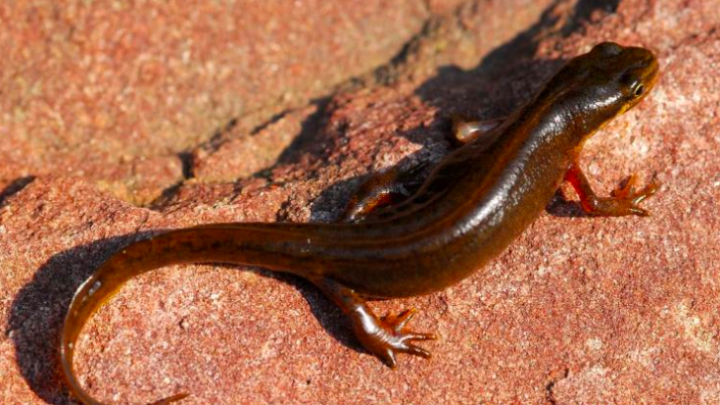 Carpathian newt, photo: A.Najbar