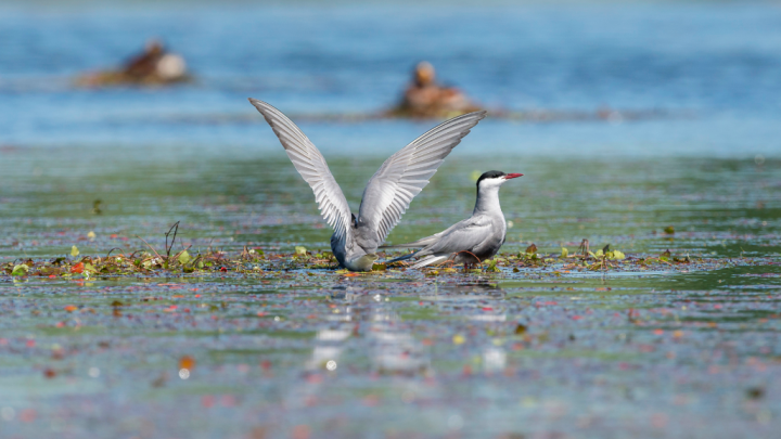 A pair of whiskered terns on a nesting platform. Photo by D. Czernek