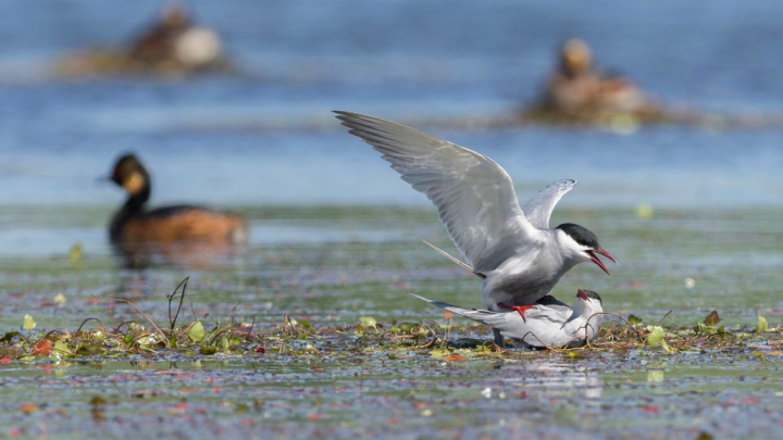 A pair of whiskered terns copulating. Photo by D. Czernek