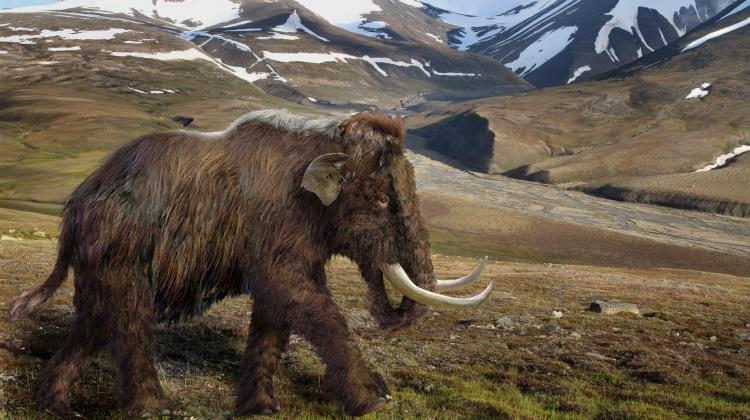 Reconstruction of a woolly mammoth in its natural habitat. Fig. Aleksandra Hołda-Michalska