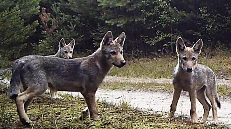 Photo from video trap. Source: association Wolf.