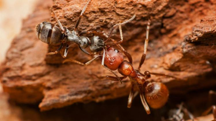 Amazon ant fed by a slave by means of trophallaxis. Photo by Maciej Nielubowicz