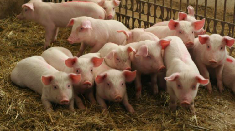 Scientists will support pig farmers | Science in Poland