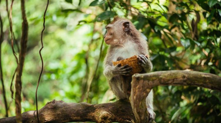 Crab-eating macaque. Photo: Fotolia