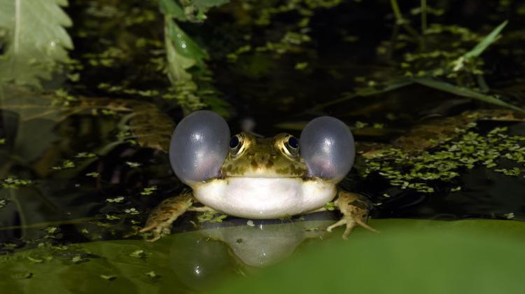 The Balkan frog (Pelophylax kurtmuelleri). Photo: Fotolia