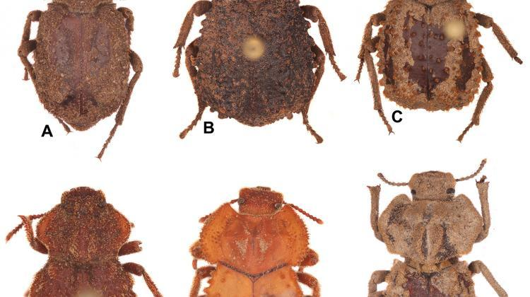 The new beetle species from South African beetle has been named in honour of Polish mathematicians. Specimen A - Machleida banachi; specimen D - Machleida tarskii; specimen F - Machleida zofiae, named after the daughter of its discoverer Dr. Kamiński. Credit: Kamiński MJ, Kanda K, Smith AD (2019) ZooKeys 898: 831-102