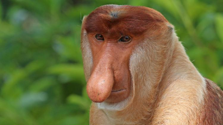 There is a noble excuse to create memes. They can help protect endangered animals, researchers hope. Photo: Proboscis monkey, based on photo by Charles J Sharp / CC BY-SA https://commons.wikimedia.org/wiki/File:Proboscis_monkey_(Nasalis_larvatus)_male_head.jpg