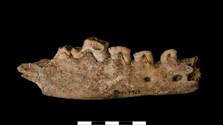 Jaw bone of an old wolf (from several dozen thousand years ago) discovered during excavations. Credit: P. Wojtal