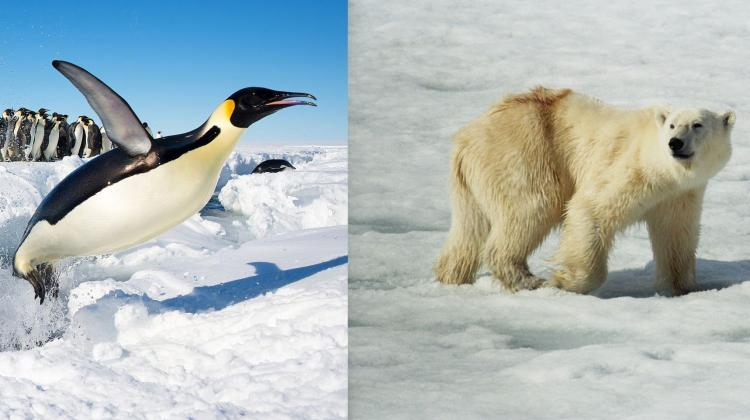 Penguin feathers and bear fur protect animals from heat loss. Dr. Urszula Stachewicz wants to develop new insulation materials based on the knowledge of these structures. Credit: Christopher Michel / CC BY; Jerzy Strzelecki / CC BY-SA