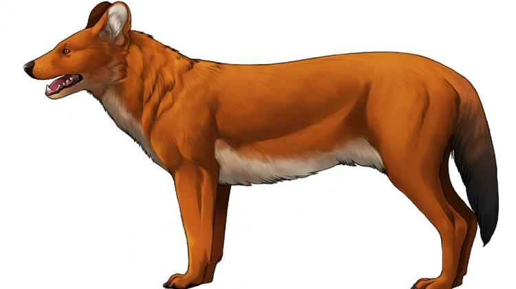 European dhole, fig. Wiktoria Gornig, full drawing below