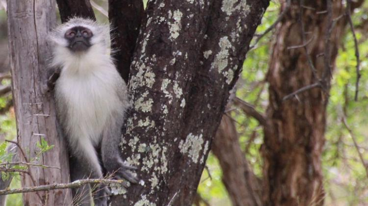 Vervet monkey (Chlorocebus pygerythrus) in South Africa. Credit: Anna J Jasinska